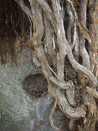 Viney-tree