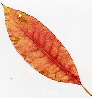 August-leaf