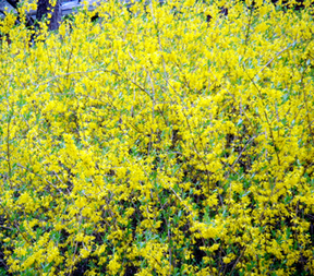 Forsythiaws